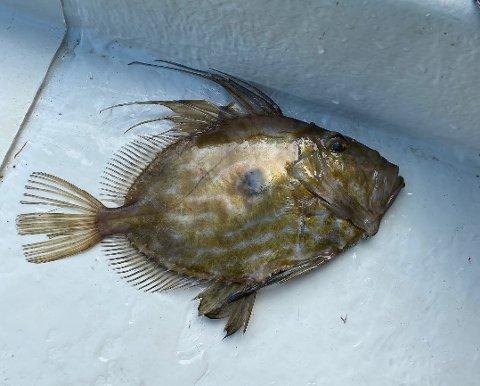 Her er St. Petersfisken som elevane i 10. klasse på Øyatun skule fekk i garnet onsdag. Legg merke til flekken midt på fisken – det er den som er opphavet til fisken sitt namn.