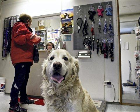 IKKE REDD: Golden retrieveren Rex som er innom Ås dyreklinikk torsdag er ikke redd for nyttårsraketter. – Vi lekte mye med han da han var valp mens det var raketter ute, forklarer matmor Liv Eriksen fra Drøbak.