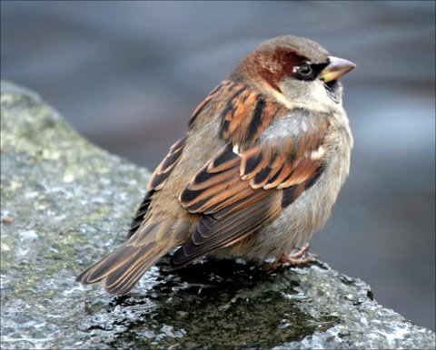 BYFUGL: Gråspurven er en typisk byfugl som sjelden drar langt til skogs. Symptomatisk nok har den sin høyeste plassering på Askim-lista her i distriktet (79 fugler fordelt på 17 hager). ARKIVFOTO