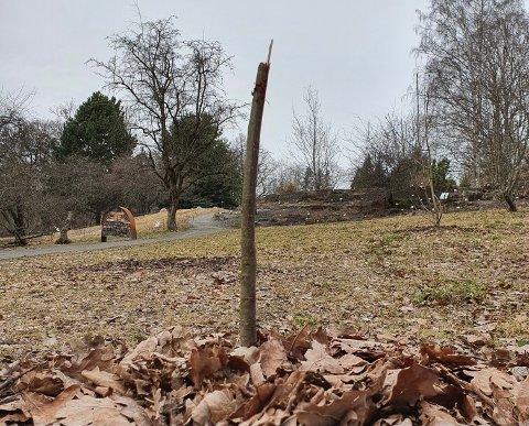 Slik så treet som kom som et frø fra Kina i 2009 ut etter påskeferien.