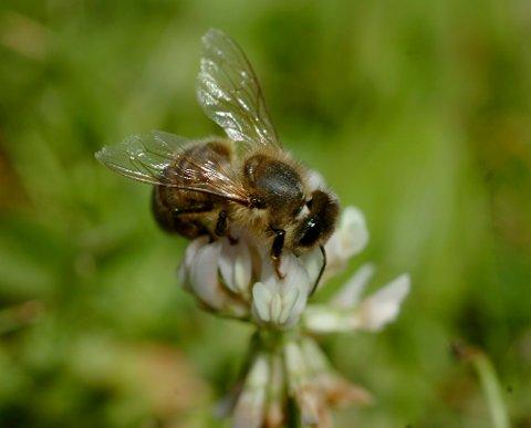 FÆRRE: Det blir stadig færre veps,bier og humler i Norge.