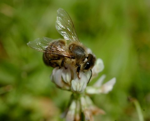 Det blir stadig færre veps,bier og humler i Norge. Her en veps.
