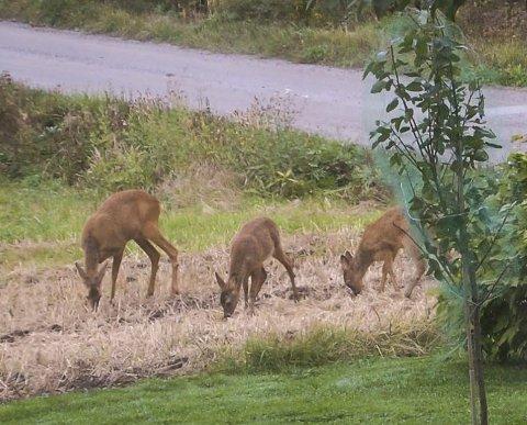 FAMILIELYKKE: I vår fødte rådyrmora tvillinger i utkanten av jordet ved Slemmestad gård i Skotbu. I midten av september er kua og de to kalvene hennes fremdeles i god behold. Her mesker de seg på nedfallsfrukten fra eplehagen. Vel bekomme! FOTO: METTE KVITLE