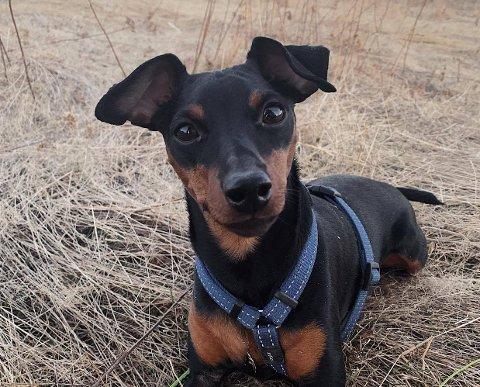 FIKK I SEG NARKOTIKA: Den halvannet år gamle dvergpinscheren Dino fikk i seg cannabis da den lekte på hundejordet på Jessheim mandag.