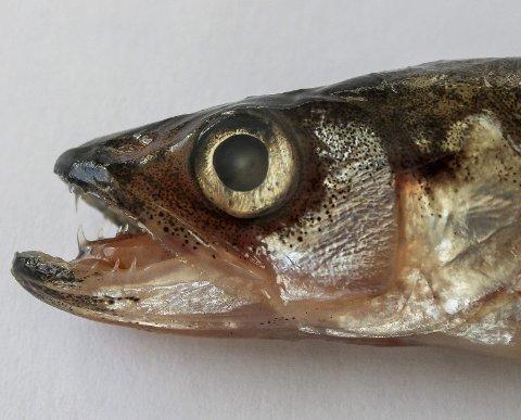 Lukta og tennene er to ting som avslører krøkla. Den er en av de ferskvannsfiskene på Romerike som de færreste kjenner til, selv om den kan opptre i store mengder. Noen krøkler blir kannibaler. De andre blir stort sett mat for annen fisk. Foto: Rune Fjellvang