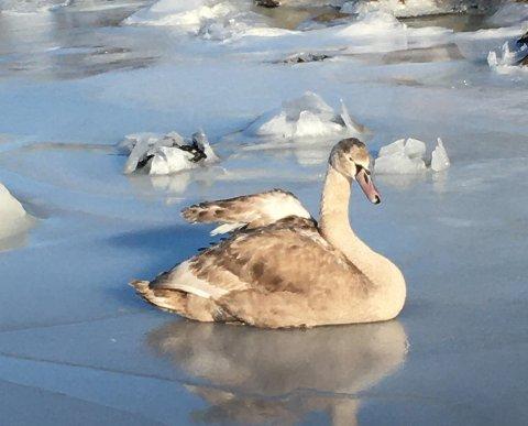 HJELPELØS: Svaneungen fikk hjelp til å komme seg løs fra isen, men hadde skadet vingen sin.