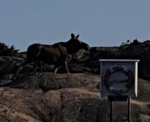 ELG I SKJÆRGÅRDEN: Hummerfisker Mads Mathisen fikk øye på denne elgen på Enga i Risørskjærgården.