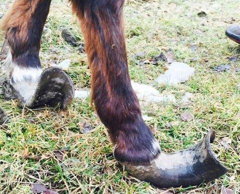 Tre av hestene hadde så lange hover at de hadde problemer med å gå.