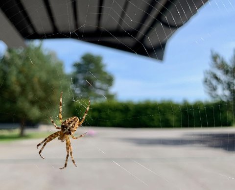 Dette flotte eksemplaret av korsedderkoppen, har Mari hatt på tomta si i flere uker. Hun kaller den Hansine.