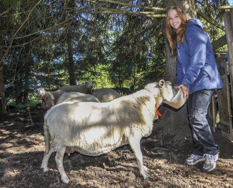GODTEBIT TIL SAUENE: Sauene i denne åpne bingen like ved Hennung kommer til med det samme Kristin Ulset dukker opp. Hun har nemlig med litt kraftfôr.