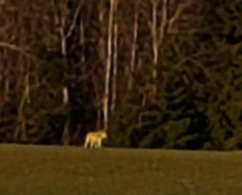 Ulv i turterreng: Dette bildet tok Lisbeth Vigtil tidlig torsdag morgen. Dette kan være en ulv. Hun observerte to andre dyr ikke langt unna hverandre.