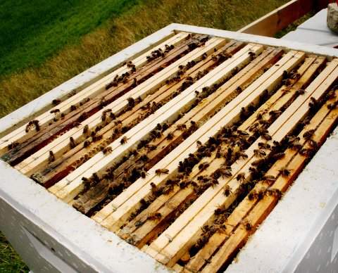 Honningfabrikk: Ei bikube kan gi mellom 15 og 40 kilo honning i løpet av en sesong og huser tusenvis av bier.