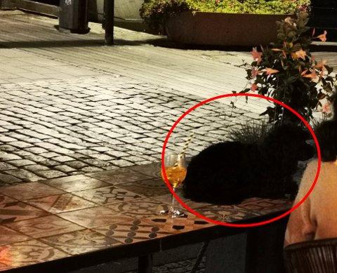 VEKKET OPPSIKT: Ved siden av glasset med drikke lå hunden oppå bordet.