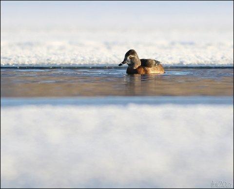 Ringandhunnen ved iskanten nært Vaulabrua.
