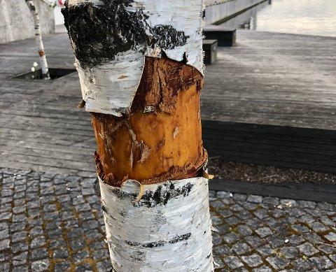 RUNDBARKET: Dette treet kan dø etter at det ble rundbarket. Flere andre trær i samme område er også vandalisert.