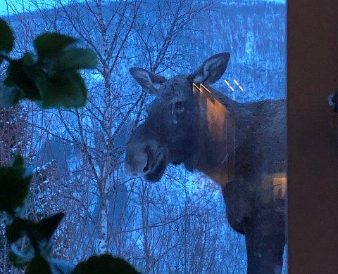 Ufrivillig besøk: Ragnhild Marie Åsen Moe har de siste dagene fått besøk av denne elgen rett utenfor stuevinduet sitt: – Han er punktlig og kommer til samme tid på ettermiddagen, sier Moe.