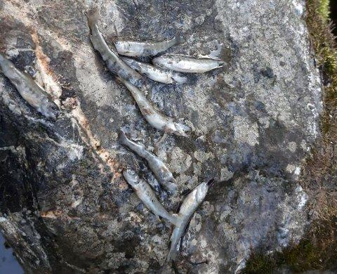 TRIST SYN: All fisken i Fæstadbekken, som renner ut i Lenaelva, døde etter det som sannsynligvis var et lokalt og akutt utslipp.