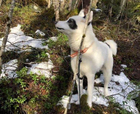 SAVNET: Den åtte år gamle østsibirske Laikaen Penda forsvant fra sitt hjem søndag. Store letemannskaper har lett i snart to dager uten resultat.