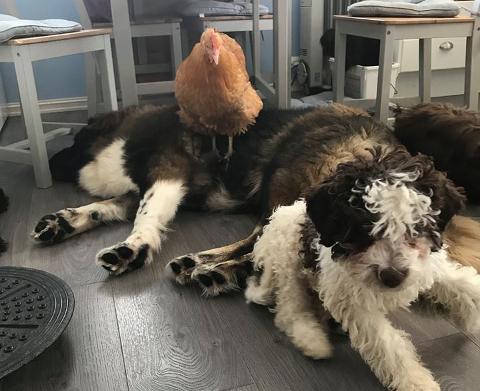 Gode venner: – Nå er Agda akseptert av hundeflokken og lever sammen med de. Hun anser nå de som sin flokk, forteller Jørgen Kristensen. Foto: Privat