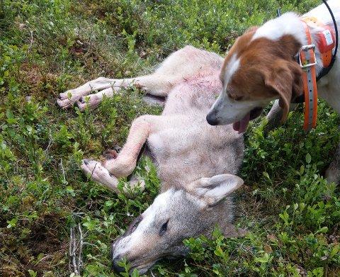 Ulv felt på Ripan på Tynset i juni 2019, i los for en løs, på drevet halsende hund.