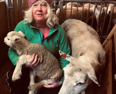 TO GONGER SNITTET: Alt står vel til med både jordmor Marie Hauge, søya som fødde på påskeafta og det nyfødde rekordlammet som var dobbelt så stort som dei jamnaldrande lamma i sauehuset i Jøsenfjorden.