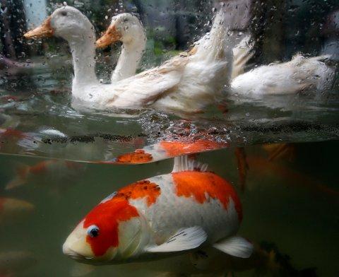Karpefisker, her en japansk koi, har fått påvist karpeherpes i Bergen. Det er første gang sykdommen er påvist i Norge.