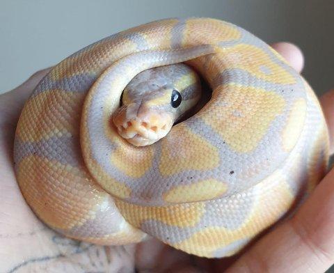 SISTE TILSKUDD: Lynn-Alexandra Kjensberg har startet enkeltpersonforetaket Kjensberg Reptiles i Kruttverket. Siste tilskudd i virksomheten er denne konepytonen. Han er først kjønnsmoden og klar for eventuell oppdrett om et års tid.