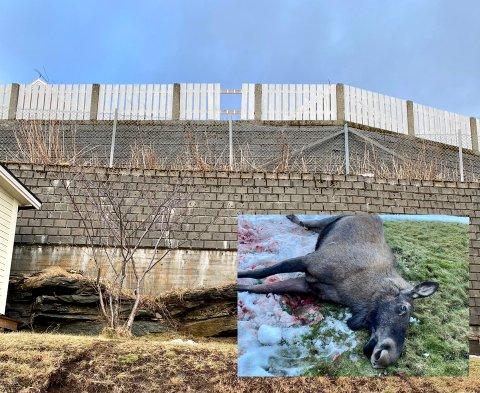 Brakk beina: Begge bakbeina på elgen knakk da den hoppet ned fra denne støttemuren.