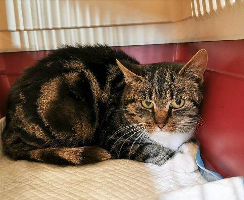 HUNNKATT: Denne hunnkatten ble funnet i et hyttefelt i Hølen, og har trolig hatt eier tidligere. Hun er to år gammel, ikke kastrert og ikke chippet.