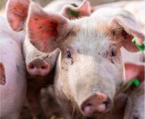 Etter Norun Haugens  dokumentar om fryktelige forhold for grisen i Norge, lovet  Landbruksminiaster Bollestad at det skulle innføres kameraovervåkning av slakteriene våre.