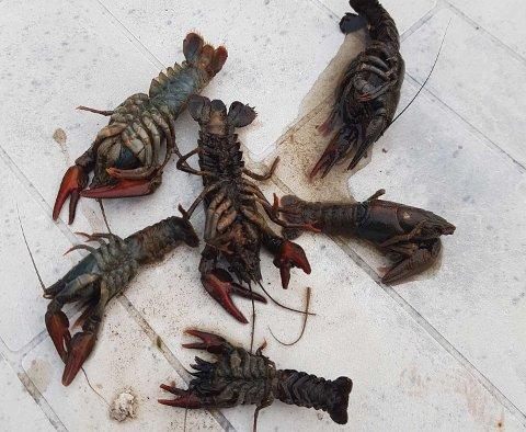 Disse døde krepsene har vært til undersøkelse hos Veterinærinstituttet.