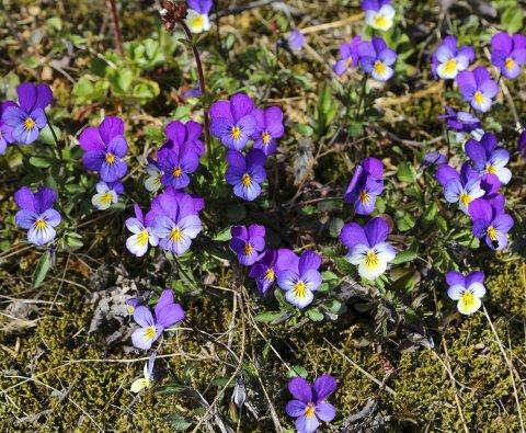 Stemorsblomstene kan være svært variabel i utseende. Disse vokser på en artsrik tørrbakke ved Lillestrøm. Hagestemorsblomsten, som er mye større, er en krysning av flere arter. Stedøtrene sitter for øvrig øverst på blomsten, stemora nederst. Foto: Rune Fjellvang