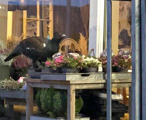 TIUR: En tiur har bosatt seg i Veggli sentrum. Her er han på besøk på Numedal Blomster.
