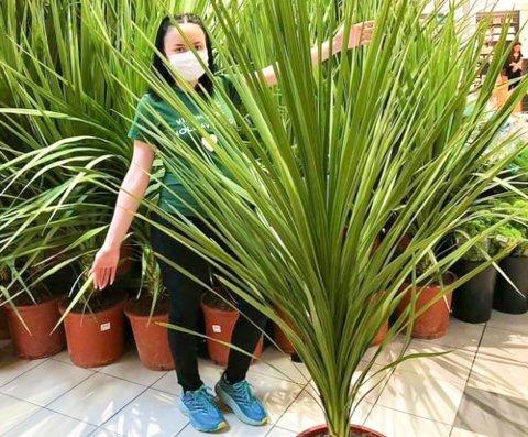 GRØNNE FINGRE: Mester Grønn opplever økende interesse i hagebruk blant nordmenn. Særlig tropiske innslag som palmer har økt i popularitet. Her er butikkmedarbeider Marianne Ramberg på Mester Grønn i Alta, der solgte de ut 80 terrassepalmer på bare noen timer onsdag. Foto: Privat.