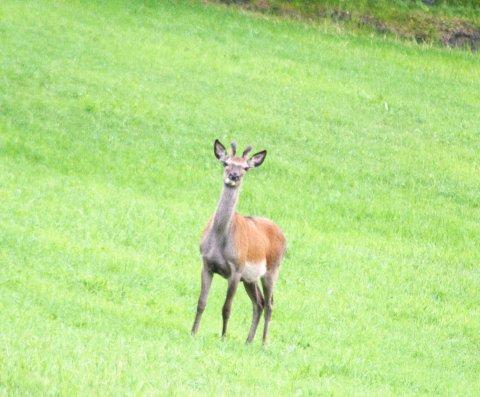 OPPDRETT: Det kan komme hjortefarmer både på Lora og Lesjaskog.