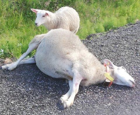 TRIST: – Det er trist når sånt skjer, sier Jon Henrik Thon, og minner om at alle har plikt til å melde fra om påkjørsel av dyr.