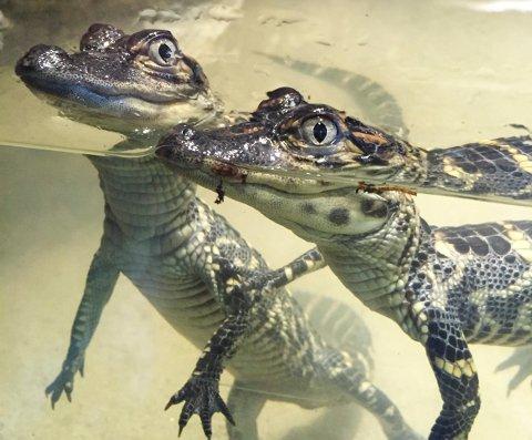 Krokodiller Den lille dyrehage