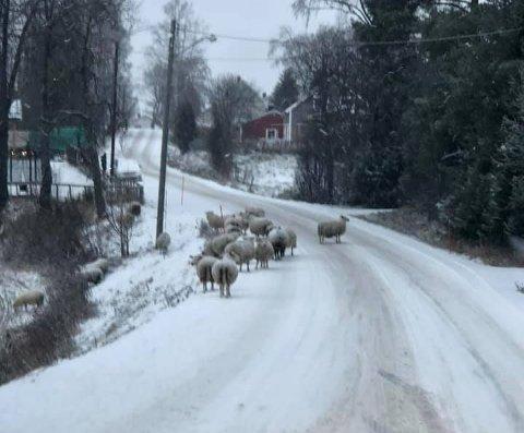 VANDRER FRITT: Sauene har gått løst rundt i nabolaget i flere måneder.