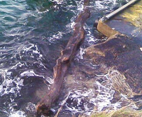 POTENSIELL FARE: Denne tømmerstokken fløyt i Kveitevik. – Den var diger og blytung, forteller torvastadbu Knut W. Selsaas.