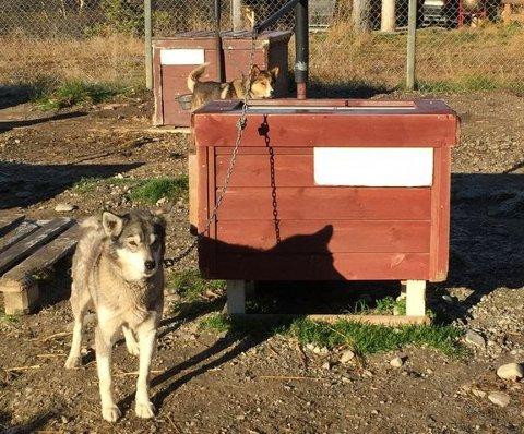 TILSYN: Mattilsynet har undersøkt dyrevelferden hos utehunder i et stort nasjonalt tilsyn.