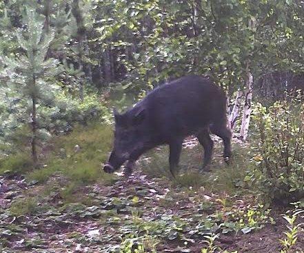 SVIN I SKOGEN: Villsvinet er tidligere fotografert av Ståle Påleruds viltkamera på Liermosen på Lierfoss. FOTO: PRIVAT
