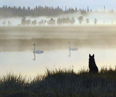 SVANESJØEN: Norsk, svart elghund ser på svanene på #helaksmyrene #naturreservat Foto: @pippaloppa