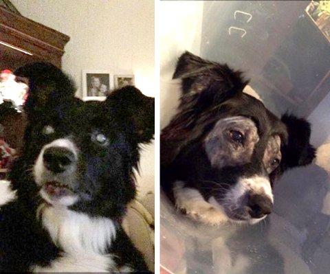 Før og etter: På bildet til venstre er Sita (8) helt blind. Man kan se de hvite øynene helt tydelig. På bildet til høyre er Border Collien operert og synet er tilbake på begge øyne.