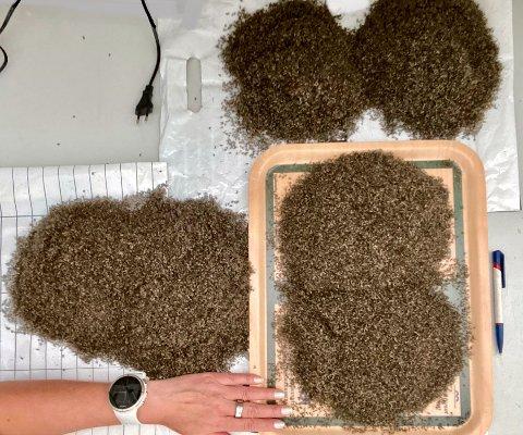 SEKS DØGN: Her er all myggen myggmaskinene til Irmeli Teppo fanget opp på seks døgn. Litt lenger ned i saken ser du fangsten etter ti døgn. Alle foto: Privat