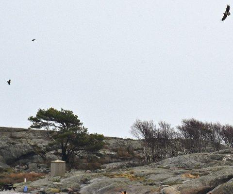 Havørn: En havørnfamilie svever over skjærgården utenfor Holmesund. En fugleekspert mener det er et ungt havørnpar med en unge som det er tatt bilde av. Foto: Skibsaksjesleskapet Hesvik