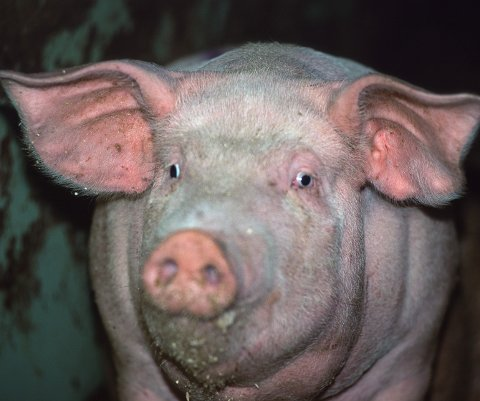 Debatt: Norsk grisehold har blitt gjenstand for stor debatt etter innslaget i NRK.