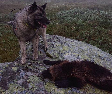 FELTE JERV: Søndag morgen ble en jerv tatt ut på skadefelling i Sålekinna på grensa mellom Tolga og Os kommuner.