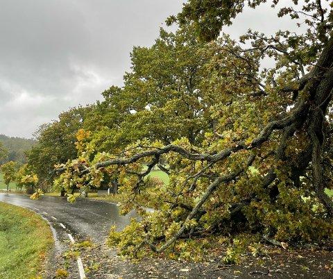 STORT TRE: Eiketreet har veltet, og fylkesvei 1064 stenges.
