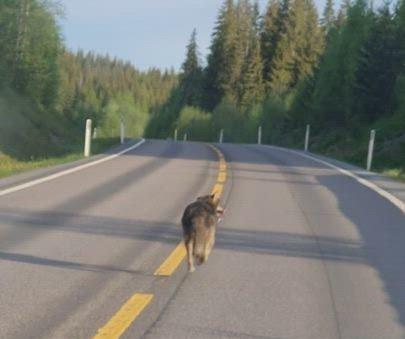 FELLINGSTILLATELSE: Gjøvik, Søndre Land og Nordre Land ber om fellingstilltatelse på ulv.