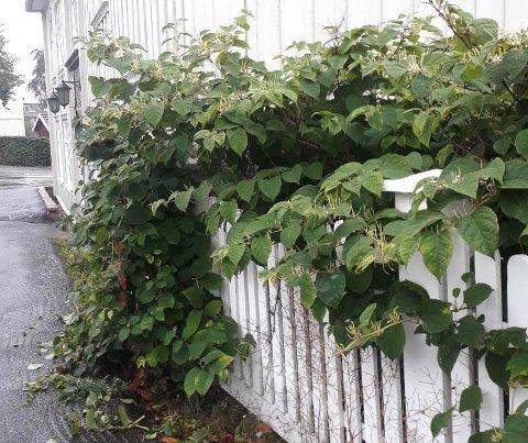 Uønsket: Parkslirekne er svartelistet i Norge, vurdert til å utgjøre en høy økologisk risiko for stedegne arter og naturtyper. Parkslirekne er også oppført på ISSG - en liste over verdens 100 verste invaderende fremmede arter.